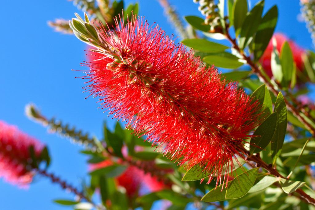 Zylinderputzer-Pflanze mit pinker Blüte