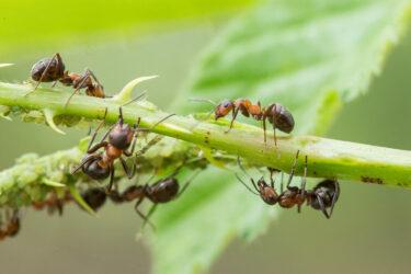 Ameisen Und Blattläuse Auf Pflanze