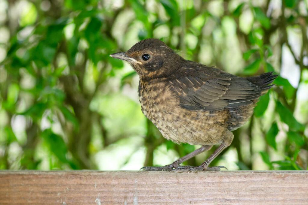 Amsel Jungvogel auf Zaun