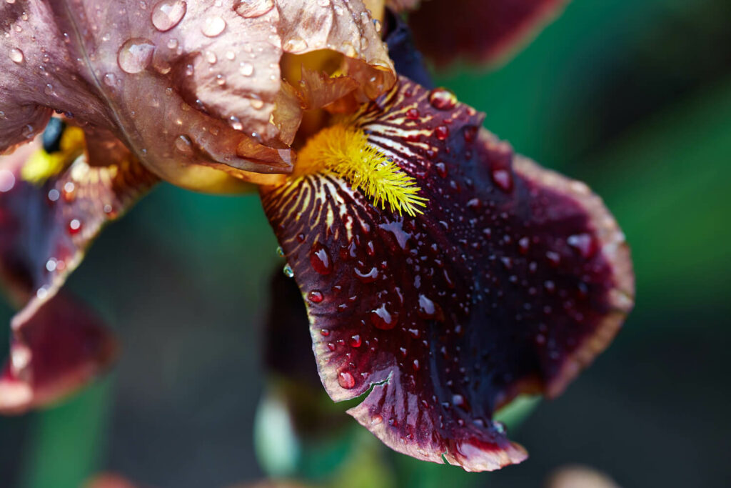 Bartiris-Blüte in dunkelrot