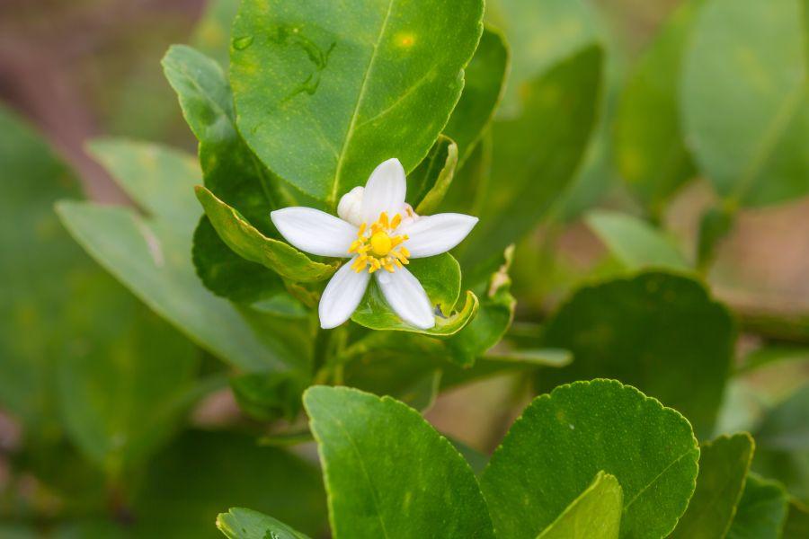 Bergamotte Blume