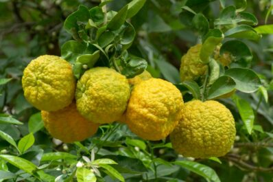 Bergamotte: Alles zum Pflanzen, Pflegen & zur Verwendung der Früchte
