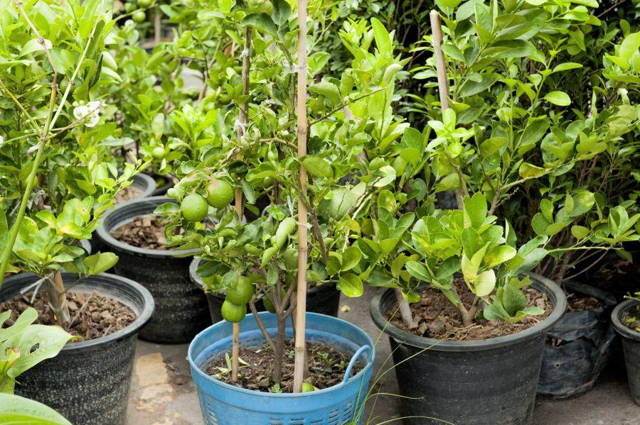 Bergamotte Pflanzen