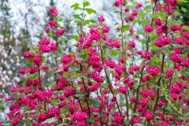 Blühende Hecke Aus Blut-Johannisbeere
