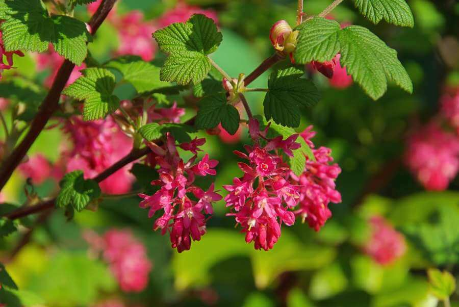 Blühende Blut-Johannisbeere