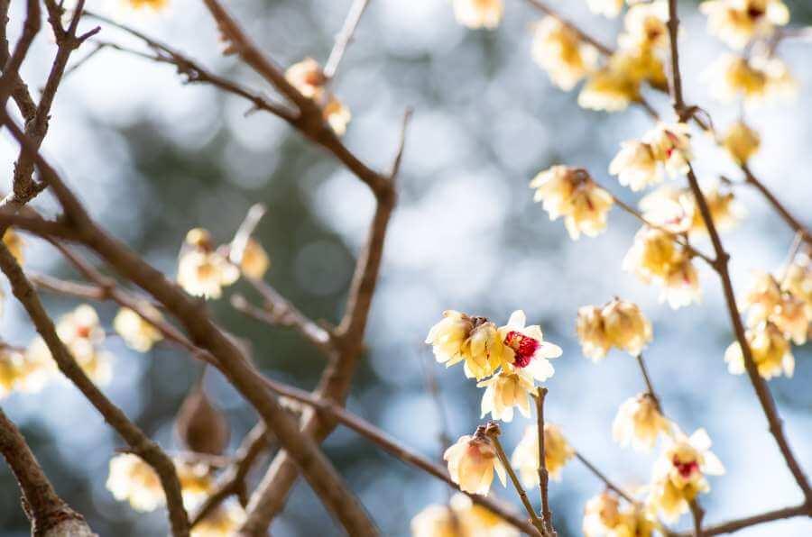 Blühende Chinesische Winterblüte