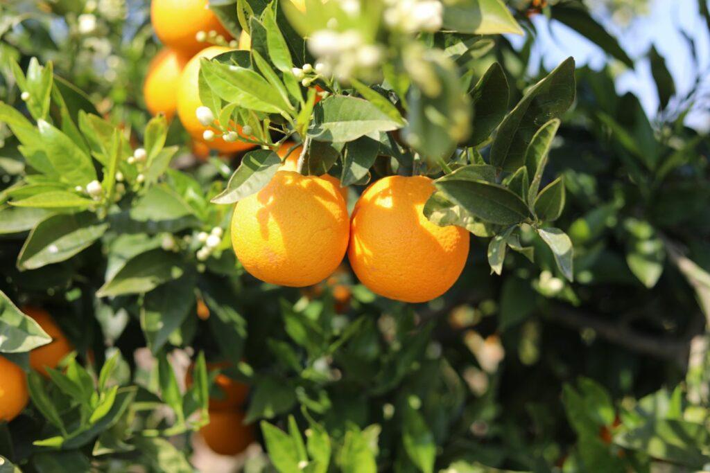 Clementinenbaum: Die besten Sorten & Tipps zum Pflanzen