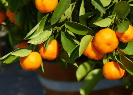 Clementinenbaum Mit Reifen Clementinen