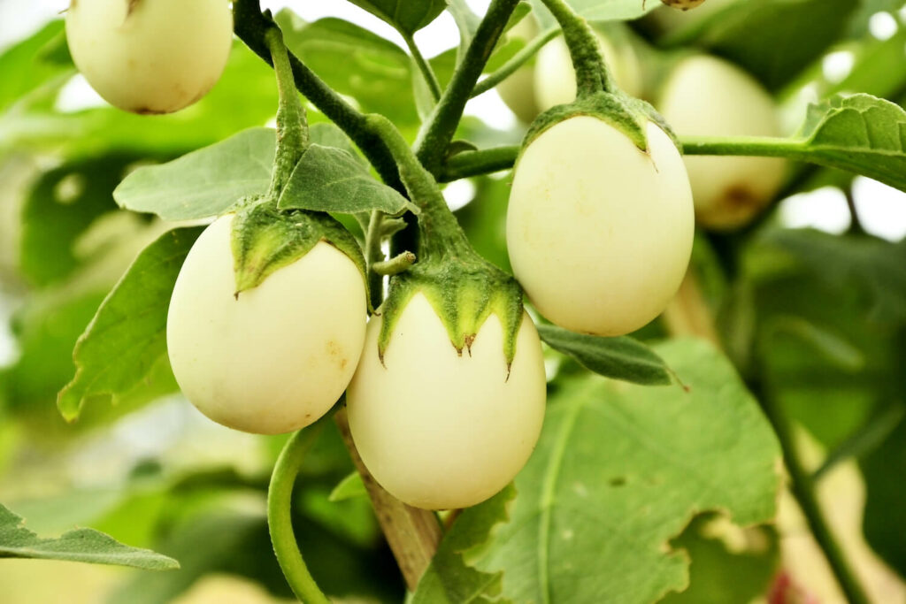 Eierbaum: Früchte, Pflanzen & Pflege