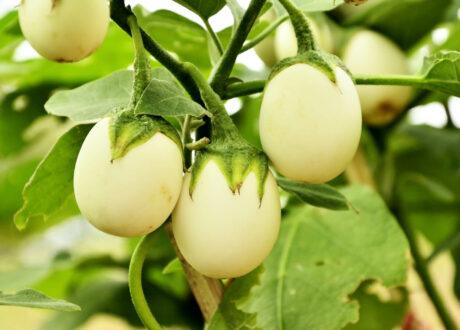 Weiße Ovale Eierbaum-Früchte