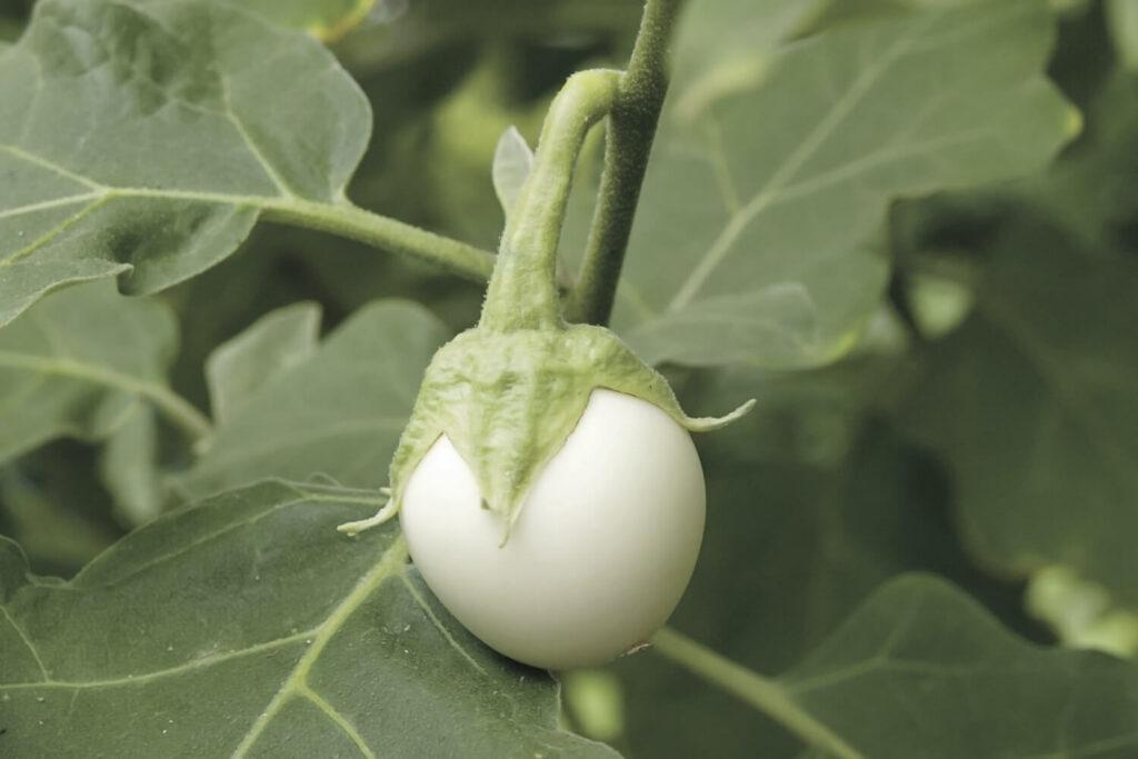 Eierfrucht am Eierbaum