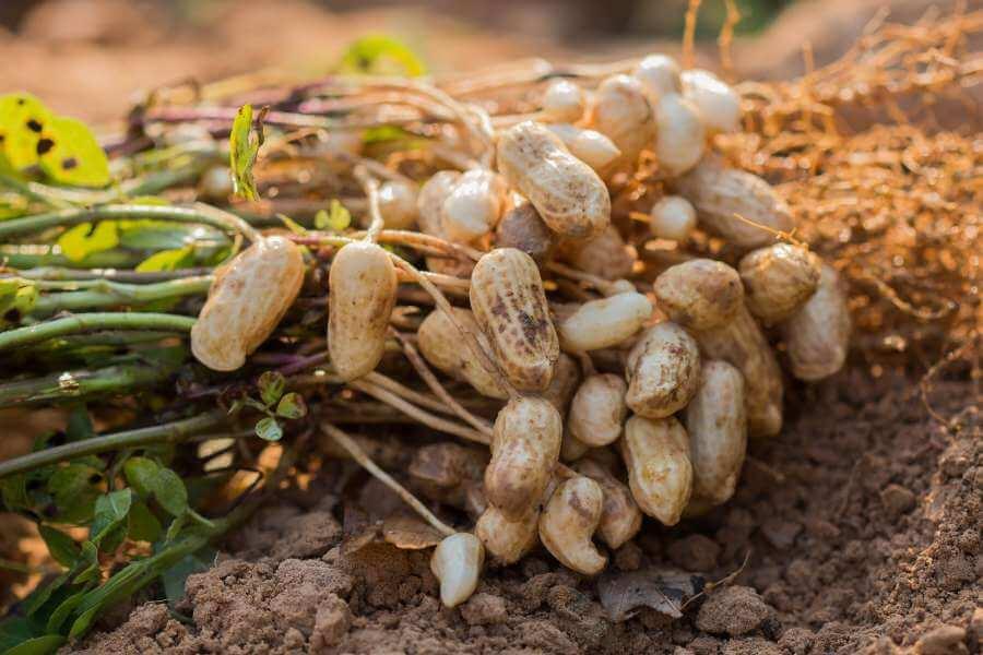 Erdnusspflanze mit Erdnüssen