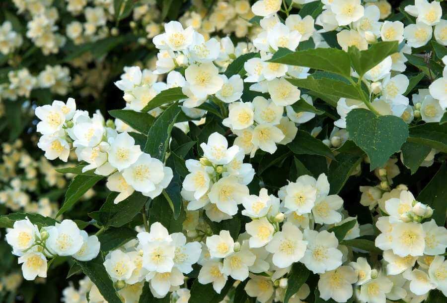 Blühender gewöhnlicher Pfeifenstrauch