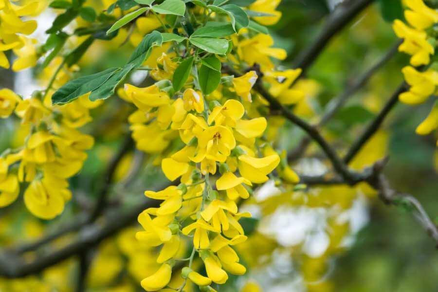 Blühender Goldregen
