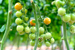 Green-Grape-Tomaten An Rispe
