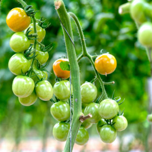 Green-Grape-Tomaten An Rispe