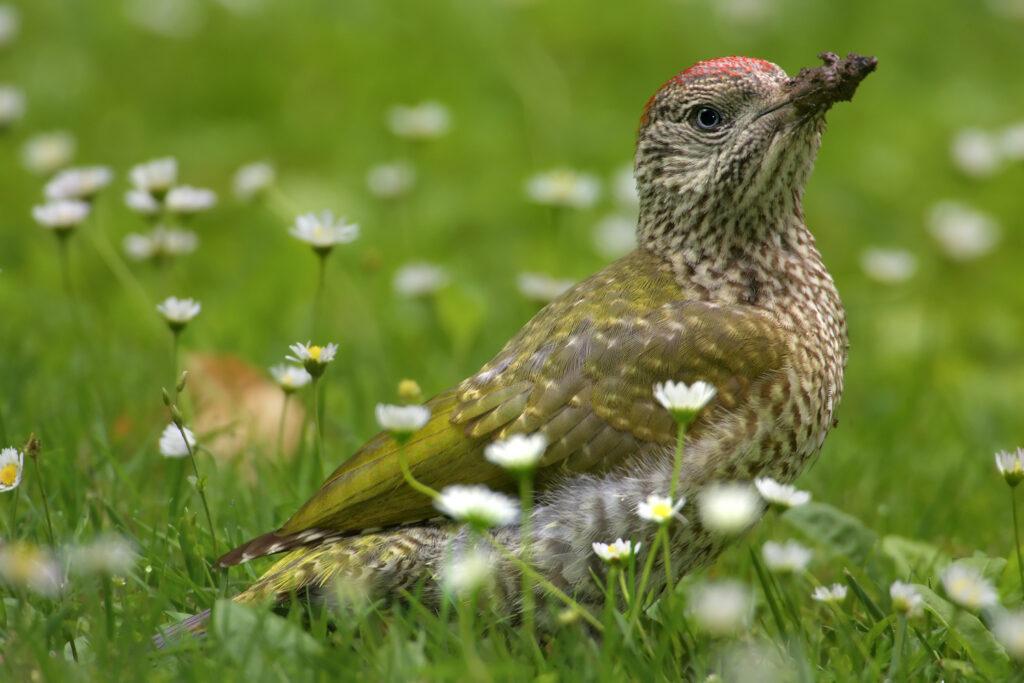 Grünspecht-Jungvogel in Wiese