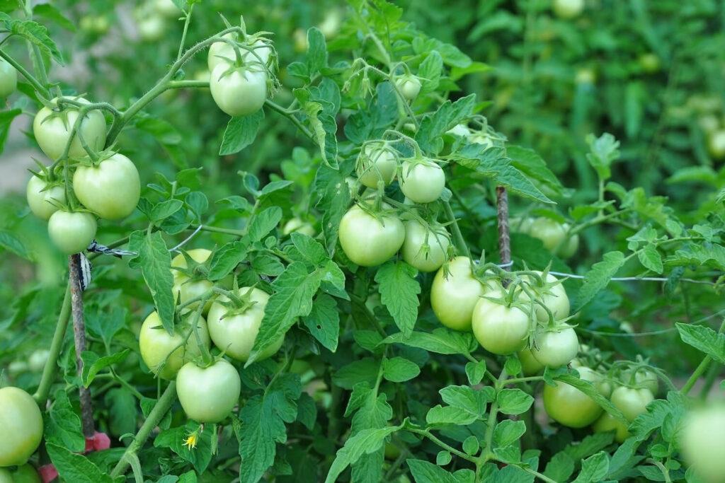 Tomaten der Sorte Himbeerrose