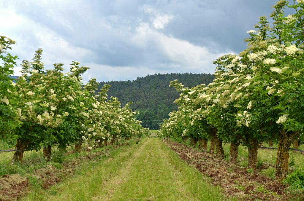 Holunderpflanzen als Hochstamm