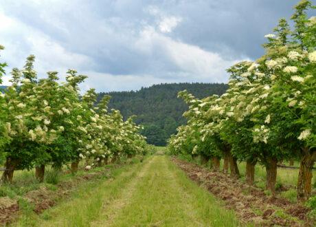 Holunderbäume Als Hochstamm
