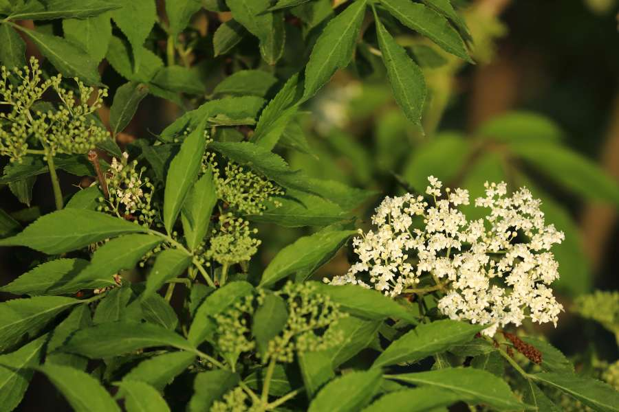 Blätter des Holunderstrauchs