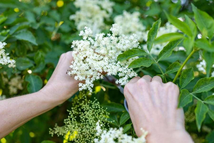 Ernte von Holunderblüten