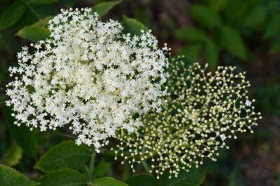 Holunder: Alles zur Blütezeit, den besten Arten & Tipps zum Vermehren