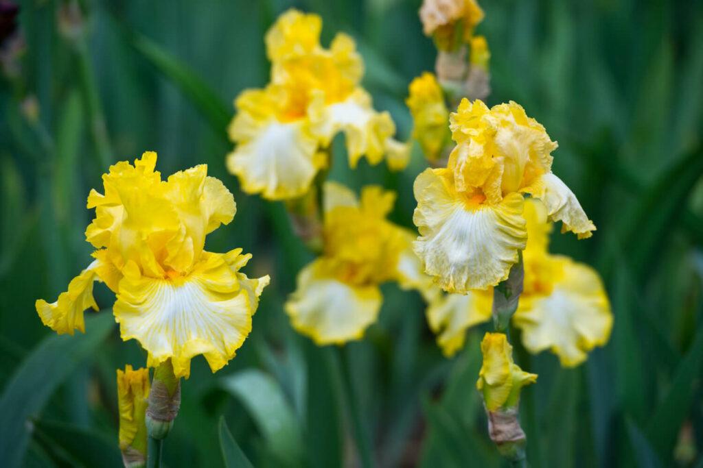 gelbe Iris-Blumen