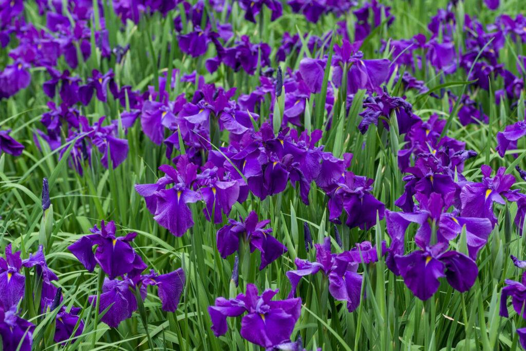 Iris-Blumenwiese aus lilanen Pflanzen