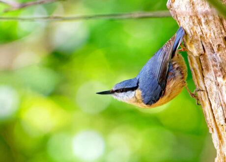 Kopfüber Kletternder Kleiber-Vogel
