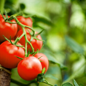 Moneymaker-Tomaten An Rispe
