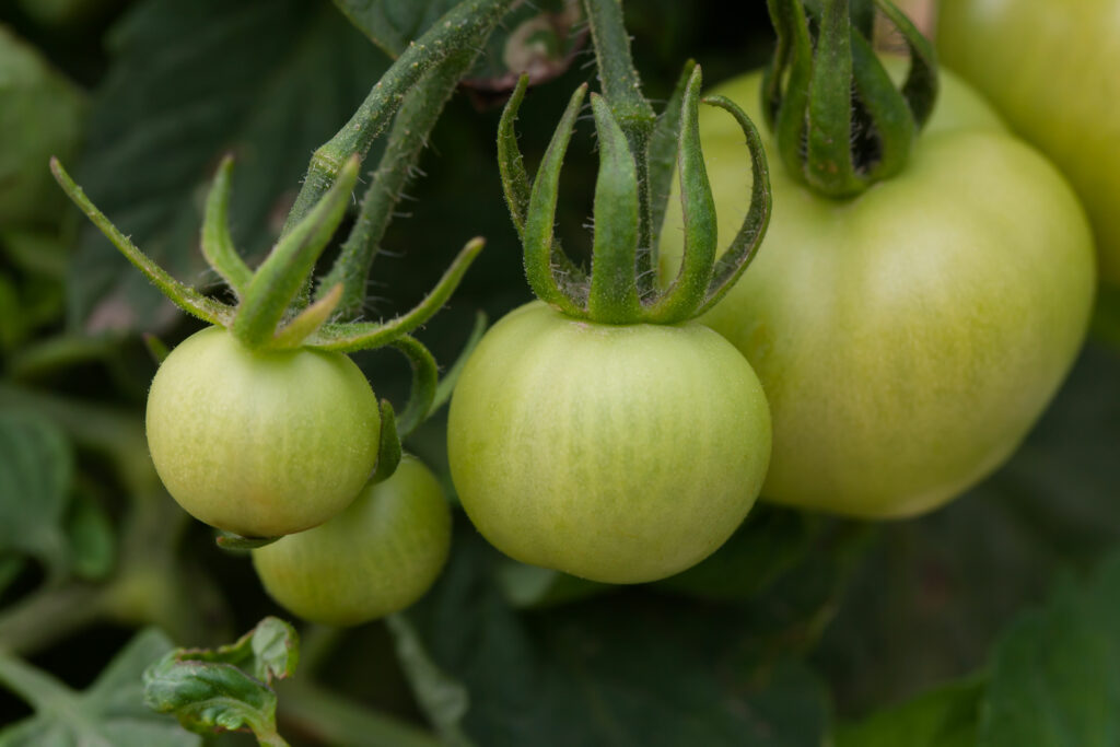 Moneymaker-Tomaten unreif
