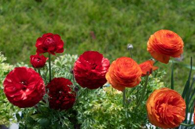 Ranunkel: Pflanzen, Pflegen & winterharte Sorten