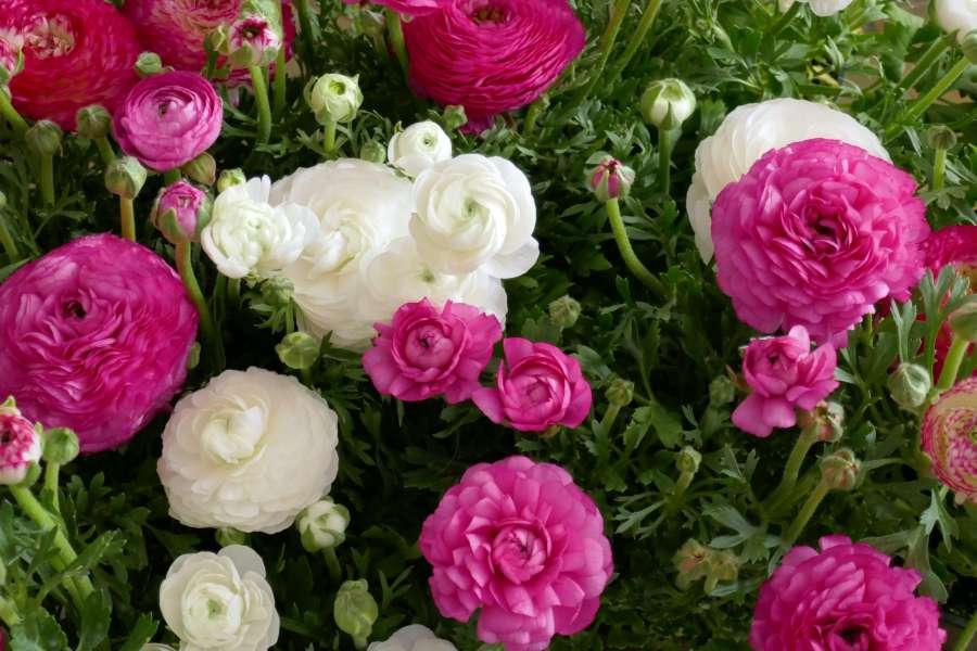 Pink und weiß blühende Ranunkeln