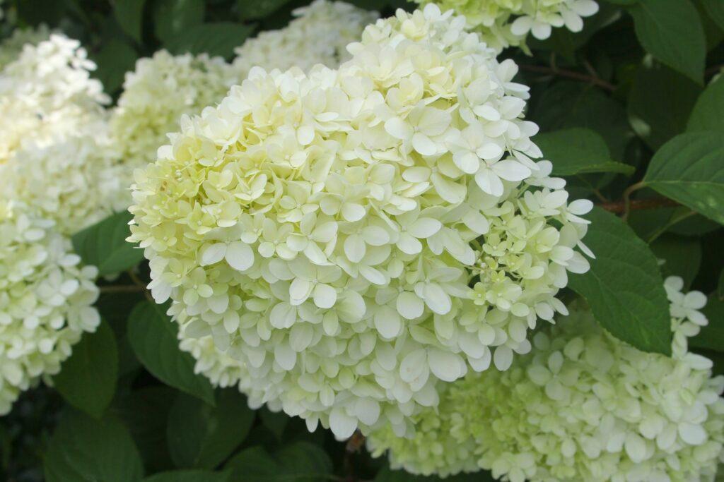 helle Rispenhortensien-Blüte
