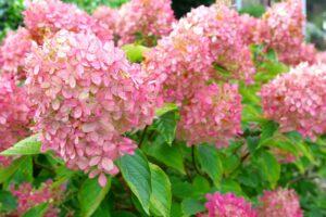 Blüten Der Rispenhortensie