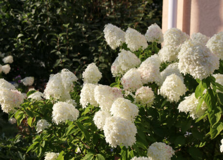 Weiße Rispenhortensie In Der Blütezeit