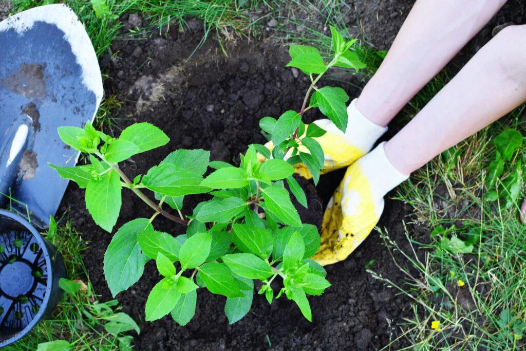 Einpflanzen der Rispenhortensie