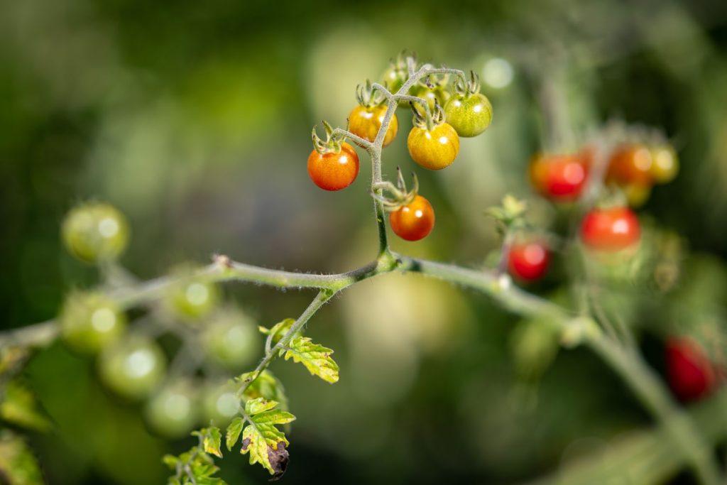 Rote-Murmel-Tomaten-Pflanze