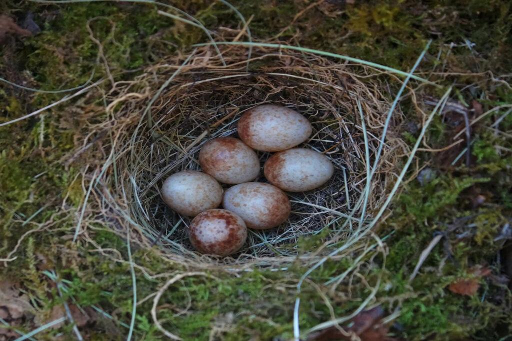 Rotkehlchen-Eier im Nest