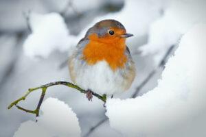 Rotkehlchen: Alles zu Nest, Futter & Besonderheiten