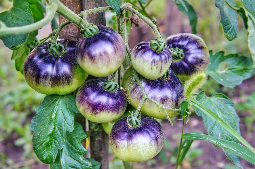 Königin der Nacht Tomate: Die majestätische Sorte im Portrait