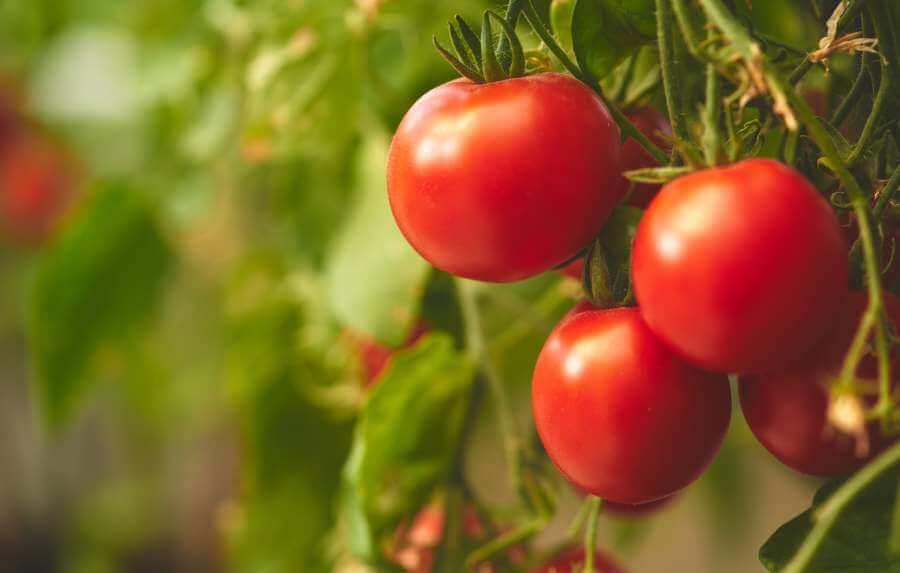 Reife Matina Tomaten
