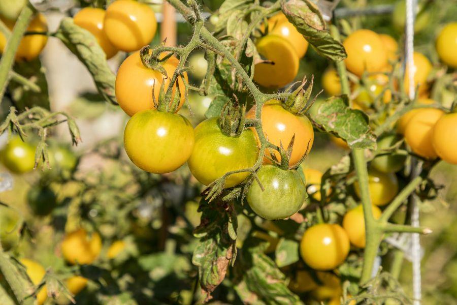 Tomatensorte Sunviva