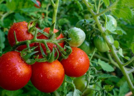 Tomaten Sorte Tamina
