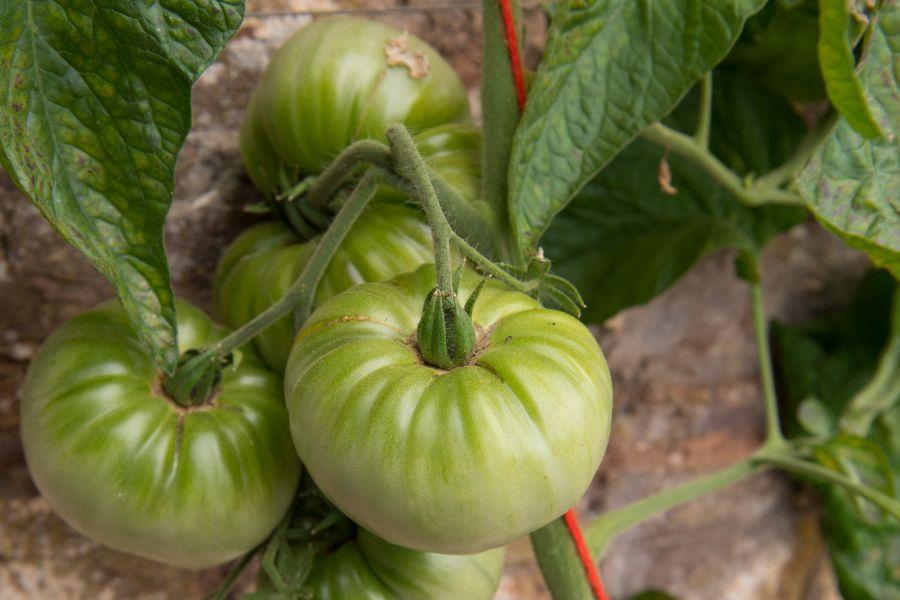 Tomate Sorte Hillbilly