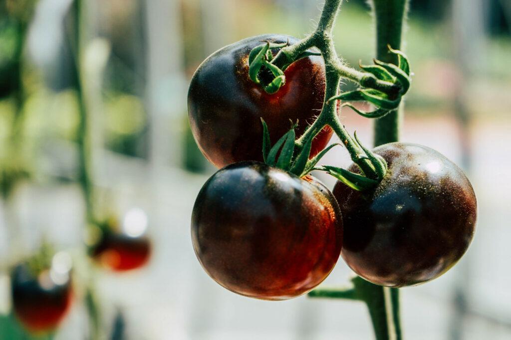 Tomaten der Sorte Königin der Nacht