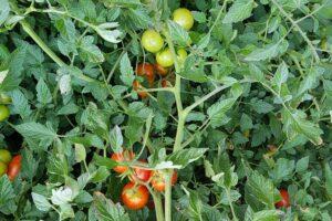Tomatensorte Primabella