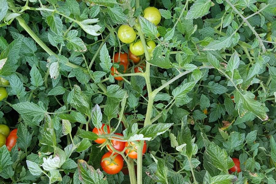 Primabella Tomate: Die neue Sorte im Garten pflanzen & pflegen