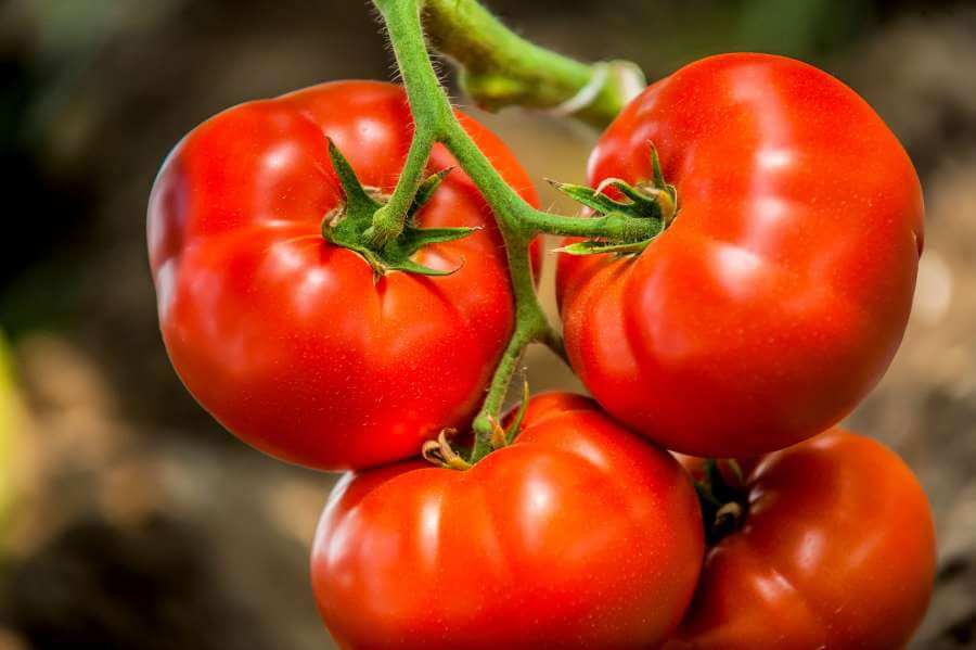 Tomatensorte Roter Russe